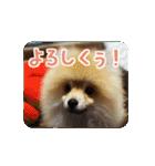 ぽめまるくん4~実写版~(個別スタンプ:12)