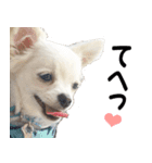 ◇◆ チワワの写真スタンプだよ ◆◇