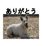 ホワイトシェパード 実写版 No,1(個別スタンプ:01)