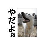 ホワイトシェパード 実写版 No,1(個別スタンプ:02)