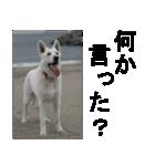 ホワイトシェパード 実写版 No,1(個別スタンプ:03)