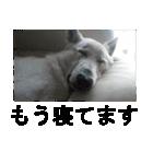 ホワイトシェパード 実写版 No,1(個別スタンプ:08)