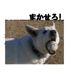 ホワイトシェパード 実写版 No,1(個別スタンプ:23)