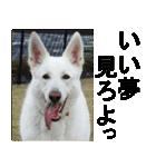 ホワイトシェパード 実写版 No,3(個別スタンプ:01)