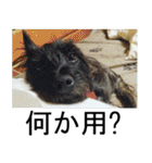 ホワイトシェパード 実写版 No,3(個別スタンプ:04)