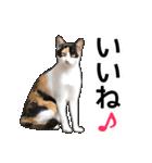 いろんな三毛猫♪.(個別スタンプ:07)