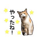 いろんな三毛猫♪.(個別スタンプ:08)