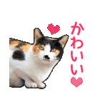 いろんな三毛猫♪.(個別スタンプ:16)