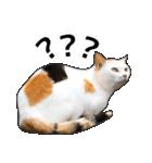 いろんな三毛猫♪.(個別スタンプ:18)
