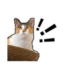 いろんな三毛猫♪.(個別スタンプ:20)