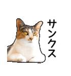 いろんな三毛猫♪.(個別スタンプ:22)