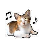 いろんな三毛猫♪.(個別スタンプ:28)