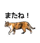 いろんな三毛猫♪.(個別スタンプ:34)