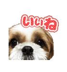 【実写】シーズー犬ぽんずとかぼす(個別スタンプ:01)