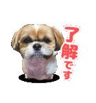 【実写】シーズー犬ぽんずとかぼす(個別スタンプ:04)