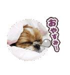 【実写】シーズー犬ぽんずとかぼす(個別スタンプ:07)