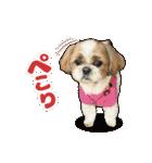 【実写】シーズー犬ぽんずとかぼす(個別スタンプ:10)