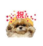 【実写】シーズー犬ぽんずとかぼす(個別スタンプ:14)