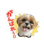 【実写】シーズー犬ぽんずとかぼす(個別スタンプ:15)