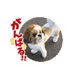 【実写】シーズー犬ぽんずとかぼす(個別スタンプ:16)