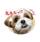 【実写】シーズー犬ぽんずとかぼす(個別スタンプ:17)