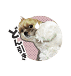 【実写】シーズー犬ぽんずとかぼす(個別スタンプ:19)