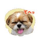 【実写】シーズー犬ぽんずとかぼす(個別スタンプ:20)
