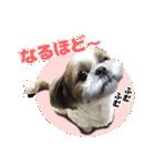 【実写】シーズー犬ぽんずとかぼす(個別スタンプ:21)