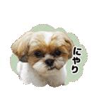【実写】シーズー犬ぽんずとかぼす(個別スタンプ:24)