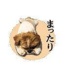 【実写】シーズー犬ぽんずとかぼす(個別スタンプ:26)