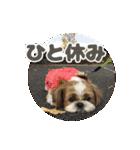 【実写】シーズー犬ぽんずとかぼす(個別スタンプ:27)