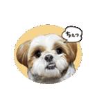 【実写】シーズー犬ぽんずとかぼす(個別スタンプ:28)