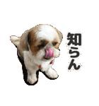 【実写】シーズー犬ぽんずとかぼす(個別スタンプ:29)