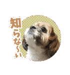 【実写】シーズー犬ぽんずとかぼす(個別スタンプ:30)