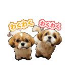 【実写】シーズー犬ぽんずとかぼす(個別スタンプ:32)