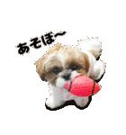 【実写】シーズー犬ぽんずとかぼす(個別スタンプ:33)
