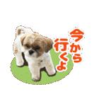 【実写】シーズー犬ぽんずとかぼす(個別スタンプ:34)