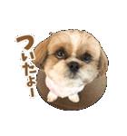 【実写】シーズー犬ぽんずとかぼす(個別スタンプ:35)