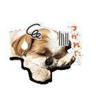 【実写】シーズー犬ぽんずとかぼす(個別スタンプ:36)