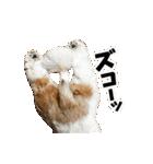 【実写】シーズー犬ぽんずとかぼす(個別スタンプ:37)