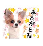 いわきのチワワ(個別スタンプ:03)