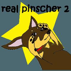 real pinscher 2
