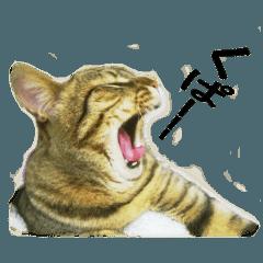 キジトラ猫テンコはん(写真)