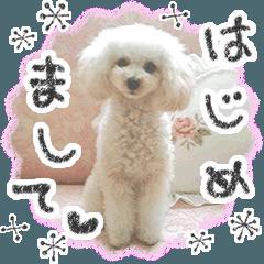 """トイプードル""""るんるん"""" 〜ムービー3〜"""
