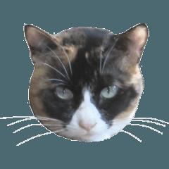 三毛猫の写真スタンプ