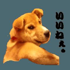 かわいい雑種犬「茶々」のご挨拶1