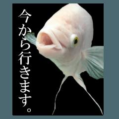巨大熱帯魚グラミー実写版