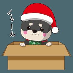 クリスマスが楽しみまたは不満な黒柴犬