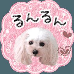 """トイプードル""""るんるん"""" 〜ムービー4〜"""