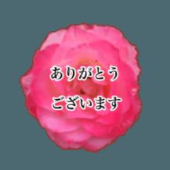 薔薇の写真敬語スタンプ